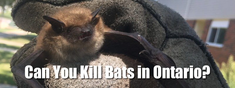 Bat laws in Ontario