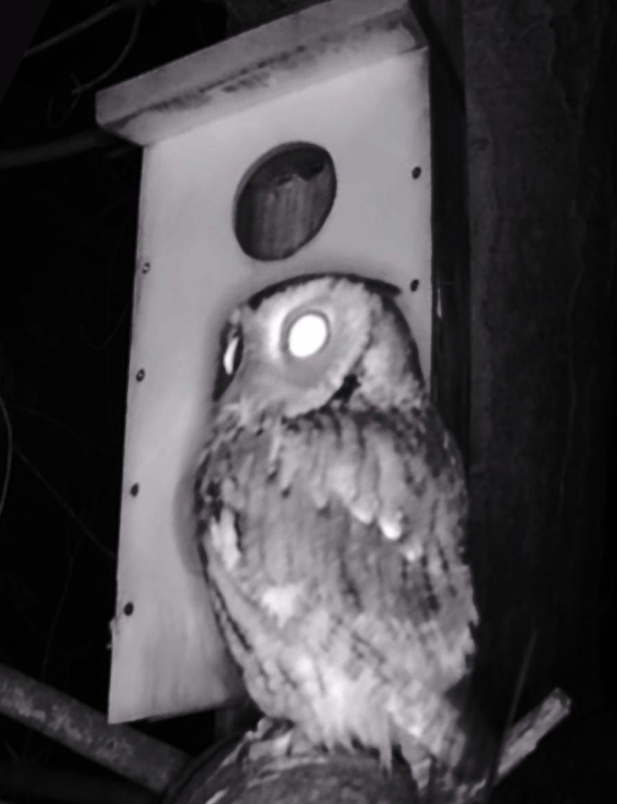 Owl in tree beside nest box